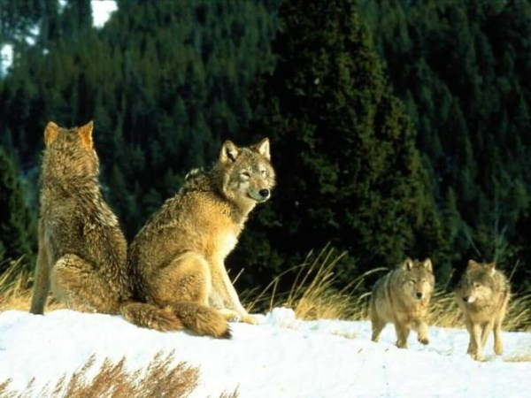 wolves-in-the-wild (29)