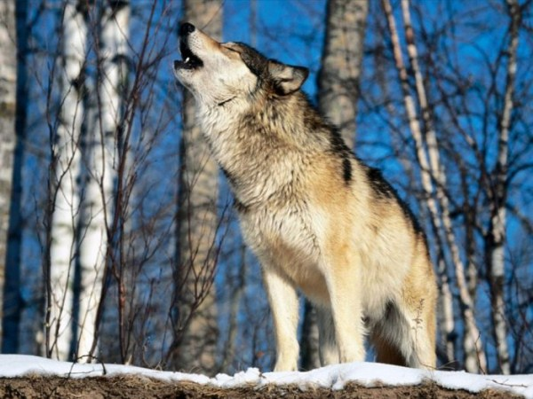 wolves-in-the-wild (3)