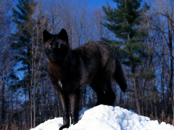 wolves-in-the-wild (31)