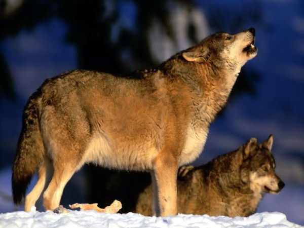 wolves-in-the-wild (34)