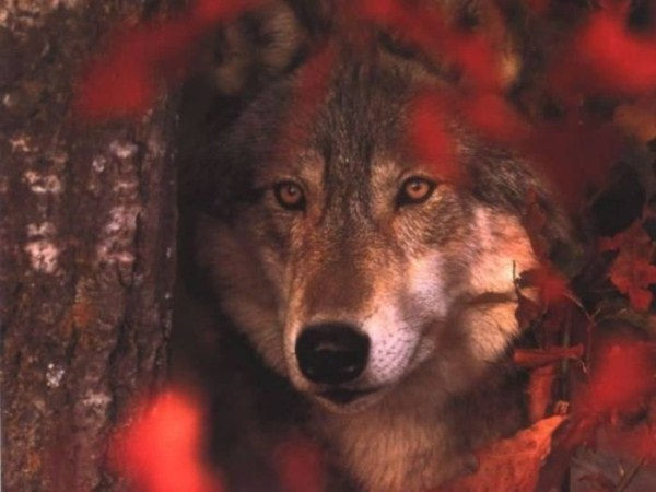 wolves-in-the-wild (37)