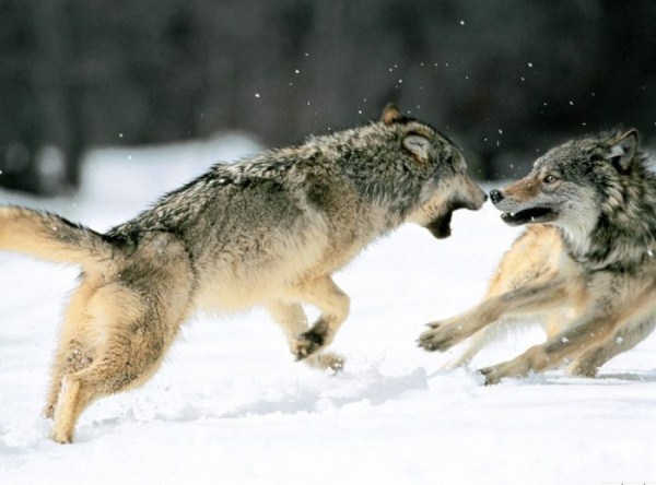 wolves-in-the-wild (41)