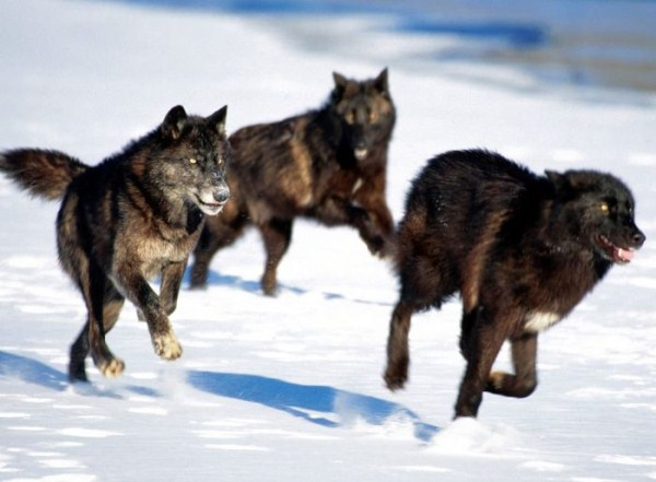 wolves-in-the-wild (43)