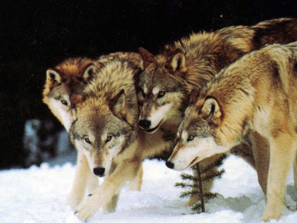 wolves-in-the-wild (46)