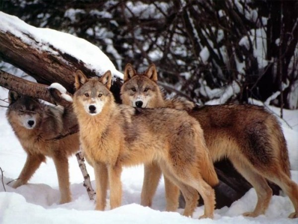wolves-in-the-wild (5)