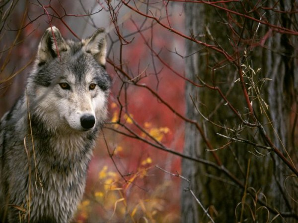wolves-in-the-wild (7)