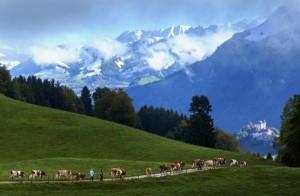 Swiss Cheese Making (22 photos) 5