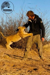 Living with Lions (37 photos) 11