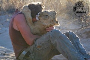 Living with Lions (37 photos) 12