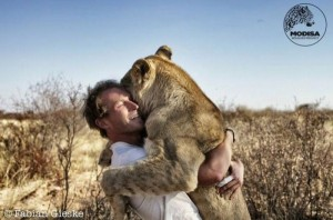 Living with Lions (37 photos) 13