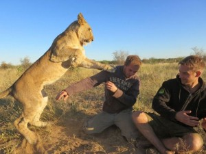 Living with Lions (37 photos) 25