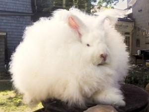 Extremely Big Rabbits (32 photos) 10
