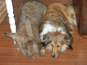 Extremely Big Rabbits (32 photos) 3