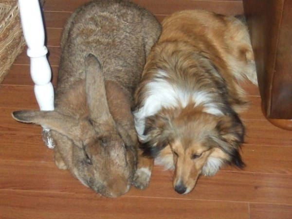 giant-rabbits (3)