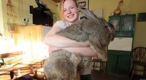 Extremely Big Rabbits (32 photos) 30