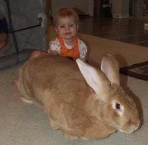 Extremely Big Rabbits (32 photos) 32