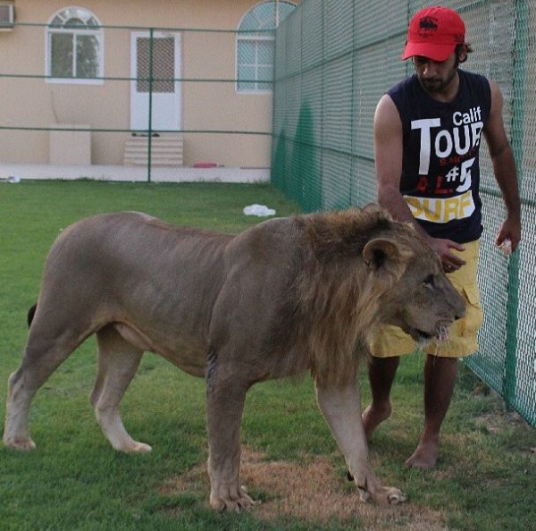 rich_guy_with_lions_instagram_01_1 (13)