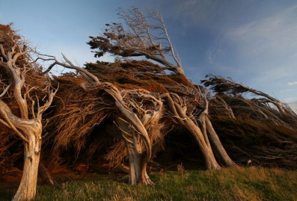 trees-shaped-into-beautiful-form-by-winds-1