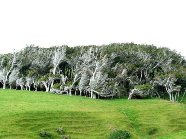 trees-shaped-into-beautiful-form-by-winds-12