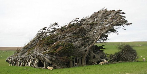 trees-shaped-into-beautiful-form-by-winds-7