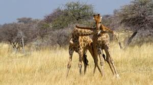 Wild Animal Fights (43 photos) 1