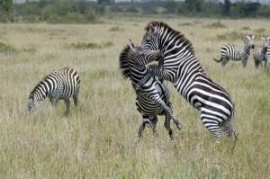 Wild Animal Fights (43 photos) 10