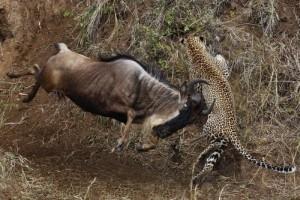 Wild Animal Fights (43 photos) 12