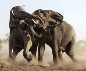 Wild Animal Fights (43 photos) 17