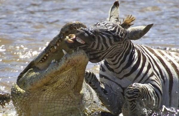 Animal Battles 23