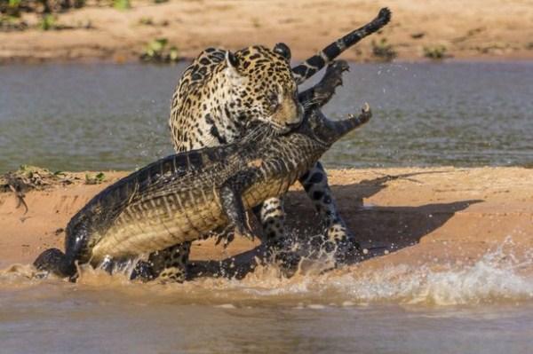 Animal Battles 27