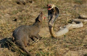 Wild Animal Fights (43 photos) 29