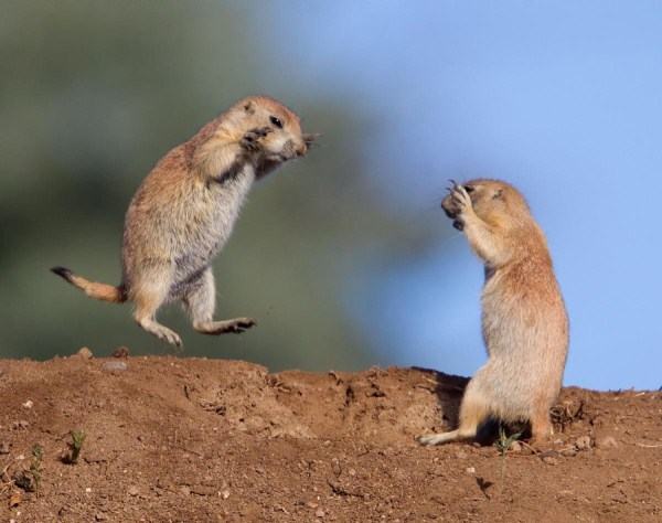 Animal Battles 31