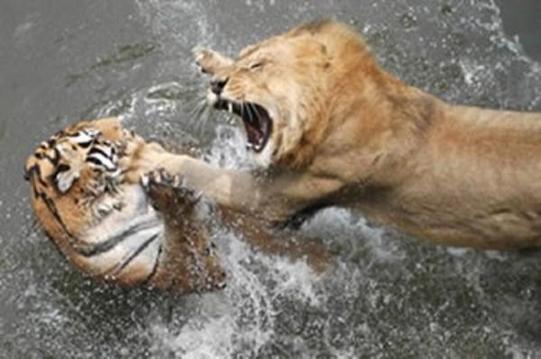 Animal Battles 37