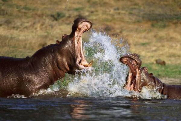 Animal Battles 38