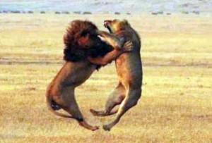 Wild Animal Fights (43 photos) 39