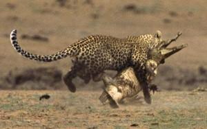 Wild Animal Fights (43 photos) 42