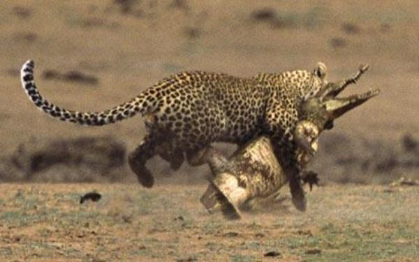Animal-Battles (42)