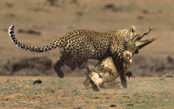 Animal Battles 42
