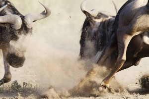 Wild Animal Fights (43 photos) 43