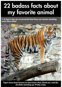 22 Interesting Facts about Tigers (22 photos) 7