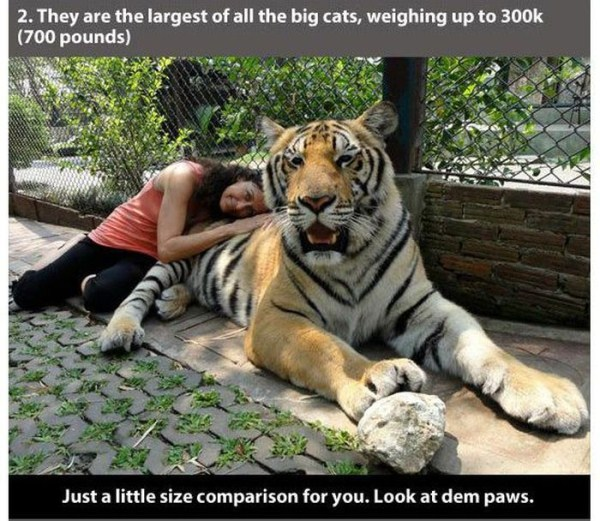 22 Interesting Facts about Tigers (22 photos) 8