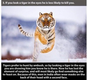 22 Interesting Facts about Tigers (22 photos) 9