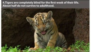 22 Interesting Facts about Tigers (22 photos) 10
