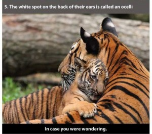 22 Interesting Facts about Tigers (22 photos) 11