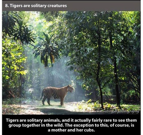 badass_facts_about_tiger_08_1
