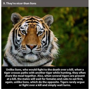 22 Interesting Facts about Tigers (22 photos) 5