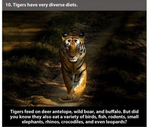 22 Interesting Facts about Tigers (22 photos) 4