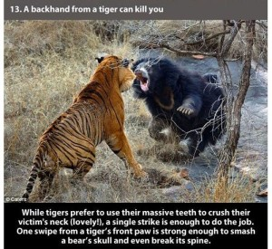 22 Interesting Facts about Tigers (22 photos) 1