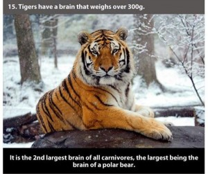 22 Interesting Facts about Tigers (22 photos) 15