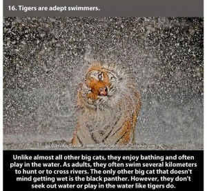22 Interesting Facts about Tigers (22 photos) 16